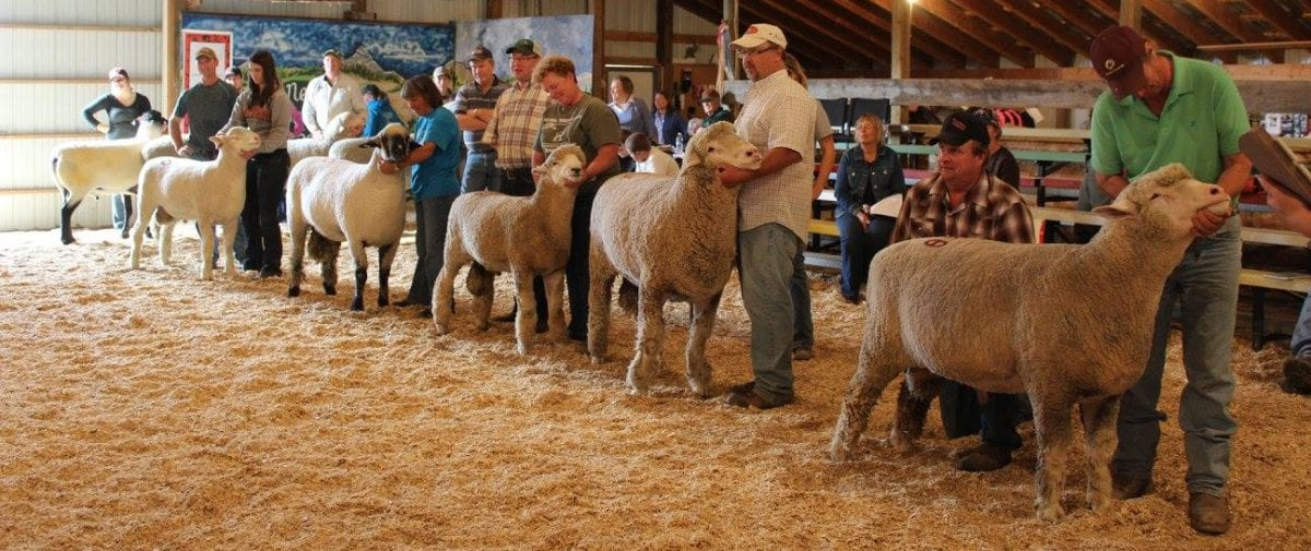 Show & Sale results – Newell Ram Sale